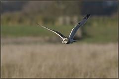 Short-eared Owl (image 1 of 2) (Full Moon Images) Tags: wicken fen burwell nt national trust wildlife nature reserve cambridgeshire bird birdofprey flight flying shorteared owl