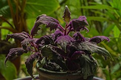 Gynura aurantiaca (ACEZandEIGHTZ) Tags: velvet plant purplepassion nikon d3200 gynuraaurantiaca leaves potted bokeh closeup