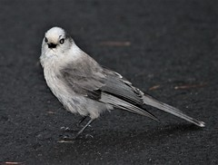 Canada Jay [Rocky Mts.] (Perisoreus canadensis capitalis) 06-16-2009 Steamboat Point to Yellowstone R. Bridge, Park Co. WY 1 (Birder20714) Tags: birds wyoming jays corvidae perisoreus canadensis capitalis