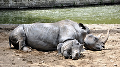 Zoo de la Palmyre (claude 22) Tags: zoo animal animaux sauvages wild france rhinoceros lapalmyre