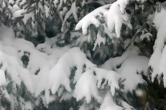2019 Snow On Spruce Tree Branches 007 (Chrisser) Tags: weather snow nature ontario canada canoneosrebelt6i canonefs60mmf28macrousmprimelens winter lens00025 digital