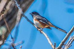 2019.04.04.1288 Eastern Towhee (Brunswick Forge) Tags: 2019 virginia grouped botetourtcounty fx bird birds animal animals animalportraits outdoor outdoors wildlife nature day clear aternoon nikond750 nikkor200500mm spring favorited commented greenfield cherryblossomtrail