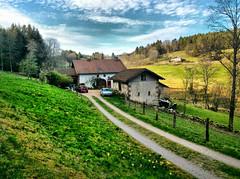 Vosges mountain. (denismartin) Tags: denismartin daffodilfestival gerardmer france lorraine vosgesmountains vosges flowers daffodil fetedesjonquilles