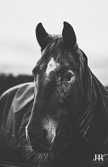 I love his whiskers. (jessica.rose93) Tags: bokeh 85mmlens 85mm canon7dmarkii canon pretty favourite uk scotland winter pony beautiful love portrait bw blackandwhite horse
