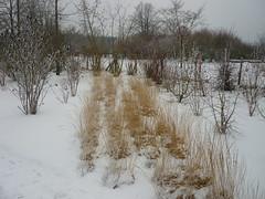 Niedriges Gräserband aus Rasenschmiele (Jörg Paul Kaspari) Tags: hosingen centre ösling winter gras grass grasses schnee snow gräserband deschampsiacespitosa rasenschmiele