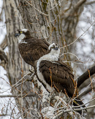 osprey (Pattys-photos) Tags: osprey swanvalley idaho pattypickett4748gmailcom pattypickett