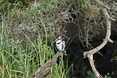 Pied Kingfisher (pbr42) Tags: africa uganda queenelizabethnationalpark nationalpark hdr water lake crater bird h2o kazinga kazingachannel animal nature kingfisher piedkingfisher