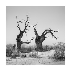Wabi Sabi 2 (Nick green2012) Tags: oak trees blackandwhite square silence minimal