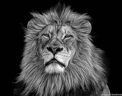 I Tried Being Reasonable, I Didn't Like It.   -Clint Eastwood (Robert Streithorst) Tags: cincinnatizoo john king lion male mono pride robertstreithorst zoosofnorthamerica