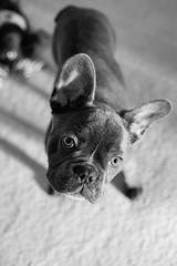 DSC_0886 (Eric Hartke) Tags: 2019 feb reggie nikond3 mastinlabs frenchie doglife 50mm14 blackandwhite