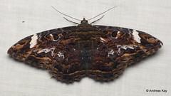 Marbled Witch, Letis caligula, Noctuidae (Ecuador Megadiverso) Tags: andreaskay calpinae ecuador letiscaligula marbledwitch moth noctuidmoth noctuidae owletmoth wildsumaco erebidae