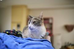 A7R3__DSC2790_C1 (Bazoka+Cynthia) Tags: pupu 小婆 新北市 樹林區 貓 cat