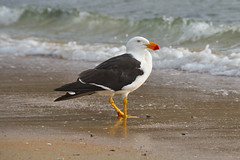 Pacific Gull (Larus pacificus) (philk_56) Tags: australia tasmania coles bay freycinet national park bird pacific gull larus pacificus