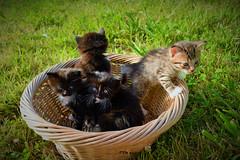 A basket of smiles and mischiefs /Una cesta de sonrisas y travesuras (PURIFM) Tags: cat kitten animal gato mascota pet nature outside catmoments