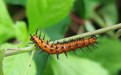 Agraulis vanillae -- Gulf Fritillary caterpillar 4138 (Tangled Bank) Tags: wild nature natural palm beach county florida outdoors fauna animals agraulis vanillae gulf fritillary caterpillar 4138 insect lepidoptera larva
