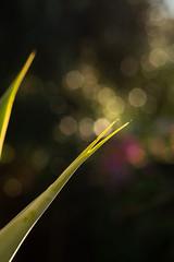 The very tip (.Stephen..Brennan.) Tags: da70 foliage pentax pentaxk3 perth westernaustralia australia au