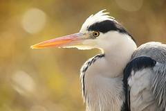 Bird portrait (Teruhide Tomori) Tags: nature bird wild kyoto japan japon hirosawanoike pond winter animal greyheron アオサギ 野鳥 広沢池 京都 冬 鳥 動物 野生 日本