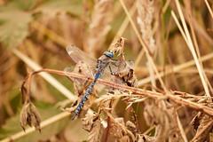 Matapiojo Azul (Tabriss) Tags: libélula insecto alas wing bug volador azul hojas secas tabris tabriss canon eos 750d rebel t6i 55250 rhionaeschna diffinis matapiojoazul matapiojo