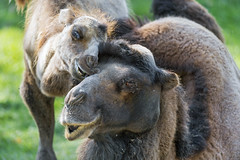 Yaris biting his dad II (Tambako the Jaguar) Tags: bactrian camel camelid male father son young playing biting action fun funny portrait close neck grass plättli zoo frauenfeld nikon d5