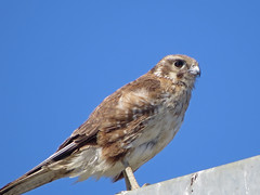 Brown Falcon (tedell) Tags: brown falcon austin road greater geelong victoria australia january 2018 bird