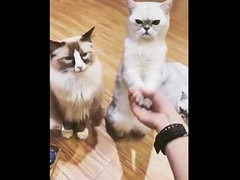 Cute cats make some high fives (tipiboogor1984) Tags: aww cute cat funny dog youtube