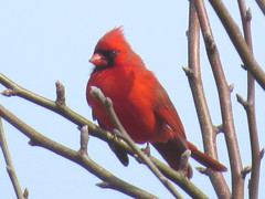 IMG_5182 (kennethkonica) Tags: nature birds animalplanet animal animaleyes autumn canonpowershot canon usa america midwest indianapolis indiana indy color outdoor wildlife cardinal red