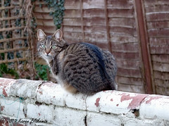 February 25th, 2019 Willow in outdoor cat mode! (karenblakeman) Tags: cavershamgarden caversham uk cat tabby willowmeowmau wall fence 2019 2019pad february reading berkshire