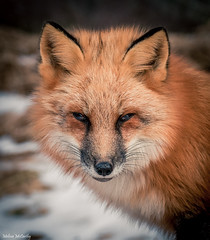 Red Fox (Melissa M McCarthy) Tags: redfox red fox animal nature outdoor wildlife wild portrait face closeup orange white signalhill stjohns newfoundland canada canon7dmarkii canon100400isii