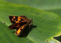 Orange Spotted Skipper (douwesvincent) Tags: uganda africa nature world outdoor natural beauty