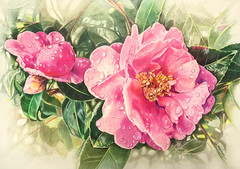 Lovely in Pink (GayleMaurer006) Tags: floralart raindrops flowers camilias blooms coloredpencil drawing buds rose blossoms roses