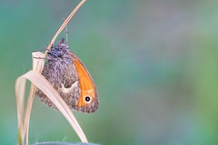 Coenonympha pamphilus (Giorgia_Amendola) Tags: lepidoptera lepidotteri lepidottero butterflies butterfly insects insetti invertebrates artropodi arthropoda macro macrophotography macrofotografia tamron d5500