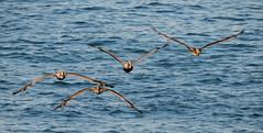 Brown Pelican, Pelecanus occidentalis (asterisktom) Tags: chiapas mexico oaxaca 2019 march puertoescondido bird vogel ave 鸟 птица 鳥 pajaro brownpelican pelecanusoccidentalis pelican coastal mexico2019janmarch