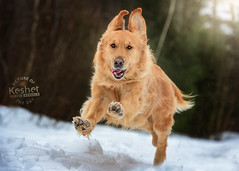 Picture of the Day (Keshet Kennels & Rescue) Tags: adoption dog ottawa ontario canada keshet large breed dogs animal animals pet pets field nature photography winter snow golden retriever run sprint happy trail forest woods speed fast