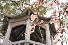 Blossoms (ashleystarford) Tags: cheery cherry blossoms wuhan yct yellow crane tower china hubei