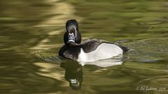 Ring-necked Duck (Bob Gunderson) Tags: aythyacollaris birds california divingducks ducks goldengatepark northerncalifornia pochardsaythya ringneckedduck sanfrancisco stowlake