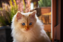 Worried (FocusPocus Photography) Tags: tofu dragon katze kater cat chat gato tier animal hastier pet besorgt verunsichert worried