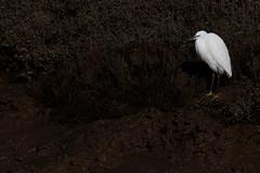 Little Egret (Egretta garzetta) (Wildlife Photography by Matt Latham) Tags: 7dmarkii canon egret egrettagarzetta littleegret mattlatham norfolk northnorfolk photography thornham unitedkingdom bird birdphotography food nature naturephotography wildlife wildlifephotography