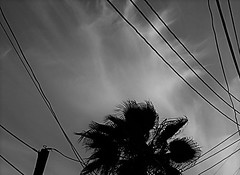 Fans and Cables (Rand Luv'n Life) Tags: odc our daily challenge palm cloud fans fan cables diagonal geometrical leaves sky monochrome black white blackandwhite outdoor