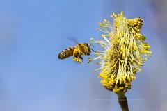 Honeybee Naturschutzgebiet Mittelbruch 23032019 (1) (Martin Ettlinger) Tags: honeybee honigbiene apismellifera plants nature spring march 2019 insect naturalreserve naturschutzgbebiet mittelbruch berlin buch germany outdoors flora fauna beautiful wildlife wildanimal