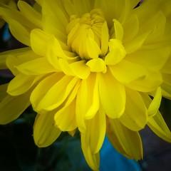Into the light (TyroCharm) Tags: spring tyrocharm flowers beauty nature closeup yellow floweroftheday garden summer