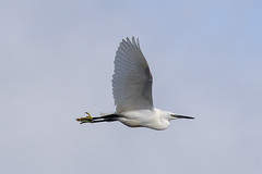 Little Egret Selection (Dougie Edmond) Tags: bird water wader nature wildlife