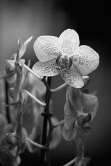 (Ich) mal wieder II (richard.kralicek.wien) Tags: blackandwhite flowers orchids