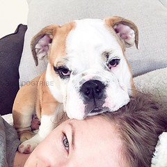 """""""Why is this pillow so uncomfortable?"""" (Michele Nicolette) Tags: ifttt instagram bulldog english bully dog cute"""