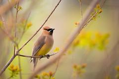 Cedar Waxwing DSC_3504 (skeeboknight) Tags: bird tree spring nature flowers