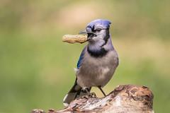 Blue Jay (Lynn Tweedie) Tags: wood bluejay beak tail wing canon ngc animal 7dmarkii missouri bird tree feathers eos eye sigma150600mmf563dgoshsm branch