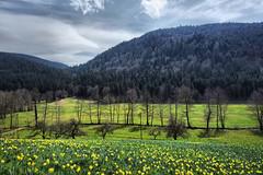 Daffodil festival (denismartin) Tags: denismartin vosges vosgesmountain mountains spring flower daffodil field nature landscape lorraine france cloud sky forest