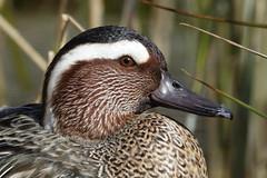 Garganey (hedgehoggarden1) Tags: garganey birds animals wildlife nature creature sonycybershot bird duck wildfowl norfolk eastanglia uk sony reeds feathers