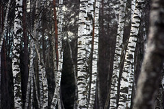 Birch Logs (gripspix) Tags: 20190216 schwenningermoos swamp sumpflandschaft moor tree baum birch birke logs stämme