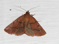 ecosystem/fauna/Pyralid Moth(Bostra sp.)? (biodiversity western ghats(before it is gone)) Tags: taxonomy:family=pyralidae pyralidae diversityindia indianmoths unidentified