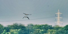 Life 😊 vs Death 💀 (Captured by Bachi) Tags: natgeo ngc nature clouds sky evening best lifevsdeath bestclick picoftheday photography birdphotography flying hyderabad india me new nofreedom powerlines deaththreats life birds bird